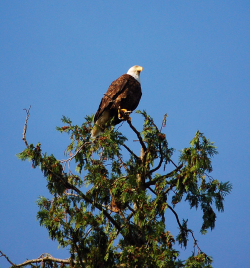 British-Columbia-eagle
