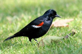 Blackbird_tricolored_male_summer_california_monte-m-taylor