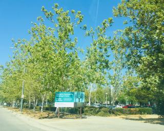 Sutter-Davis-trees
